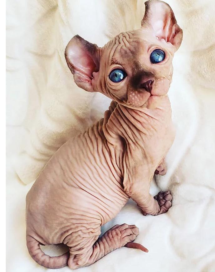 20 Szfinx kiscica, hogy bebizonyítsuk, szőr nélkül is lehetnek legalább  olyan édesek mint társaik | 74nullanulla.hu magazin
