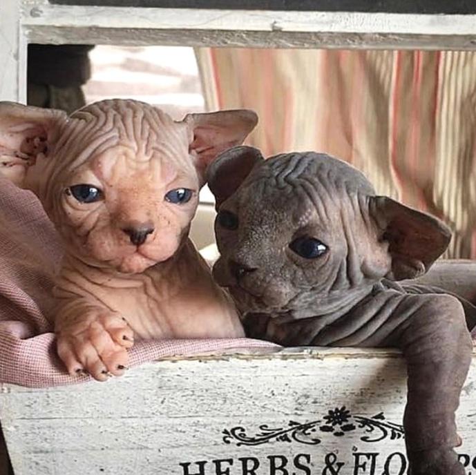 Képtalálatok a következőre: szfinx cica képek